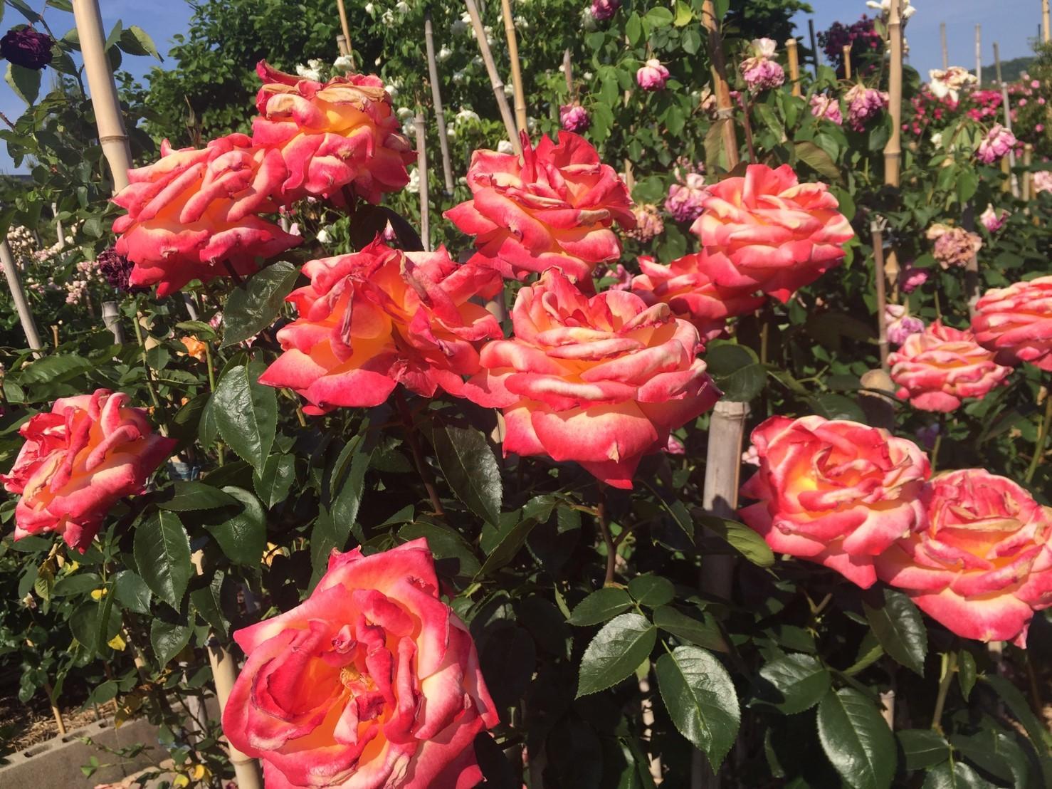 Rose Garden Fujii_e0115904_12490789.jpg
