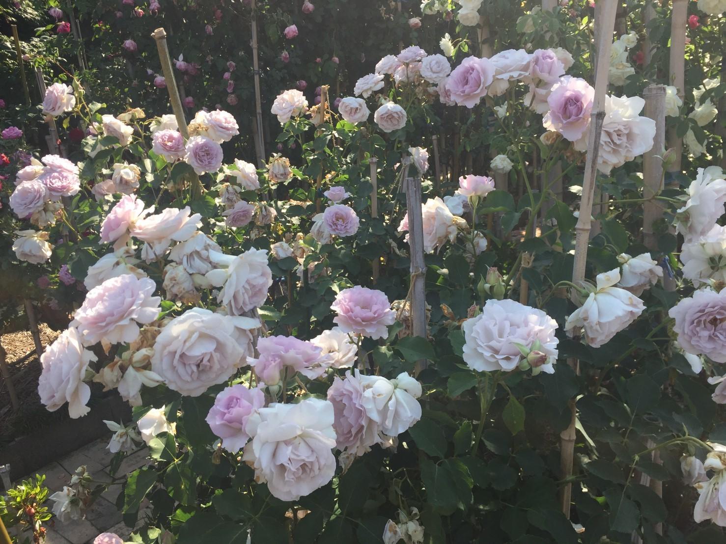 Rose Garden Fujii_e0115904_12490894.jpg