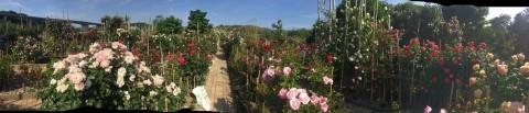 Rose Garden Fujii_e0115904_12492753.jpg