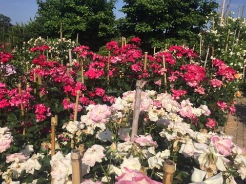 Rose Garden Fujii_e0115904_12500010.jpg