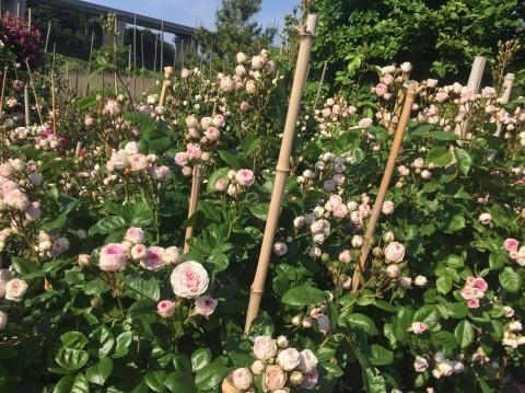 Rose Garden Fujii_e0115904_12500012.jpg