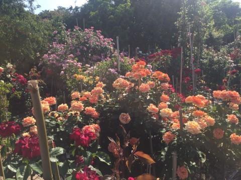 Rose Garden Fujii_e0115904_12500030.jpg