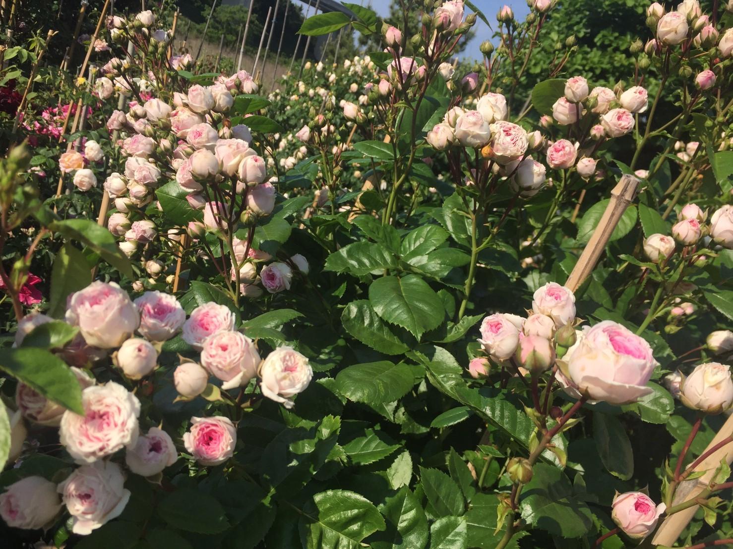 Rose Garden Fujii_e0115904_12521512.jpg