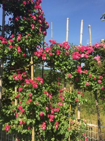 Rose Garden Fujii_e0115904_12521595.jpg
