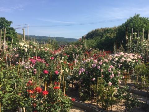 Rose Garden Fujii_e0115904_12524511.jpg