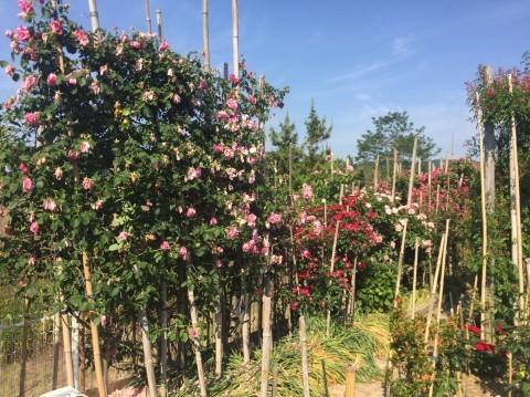 Rose Garden Fujii_e0115904_12524544.jpg