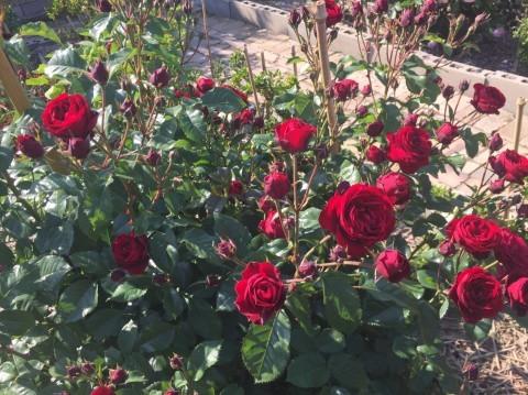Rose Garden Fujii_e0115904_12524571.jpg