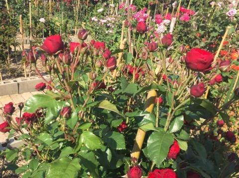 Rose Garden Fujii_e0115904_12524624.jpg