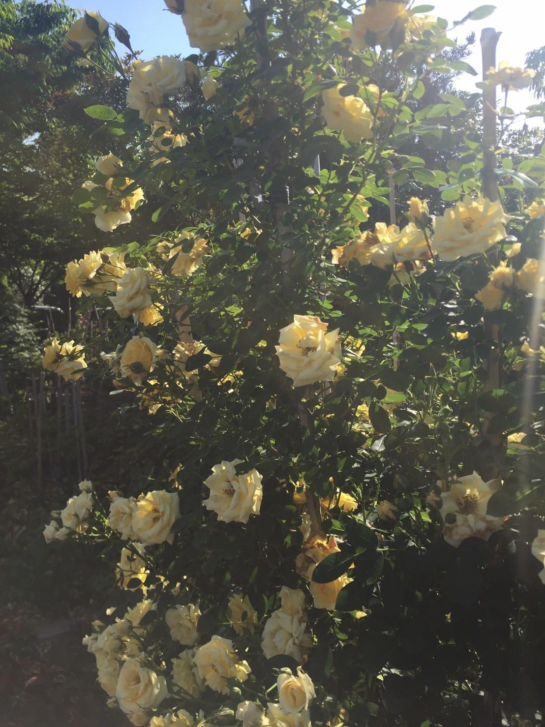 Rose Garden Fujii_e0115904_12540603.jpg