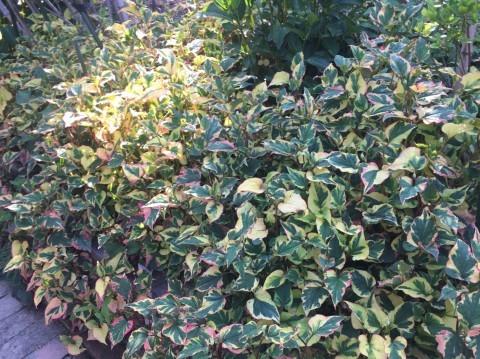 Rose Garden Fujii_e0115904_12540688.jpg