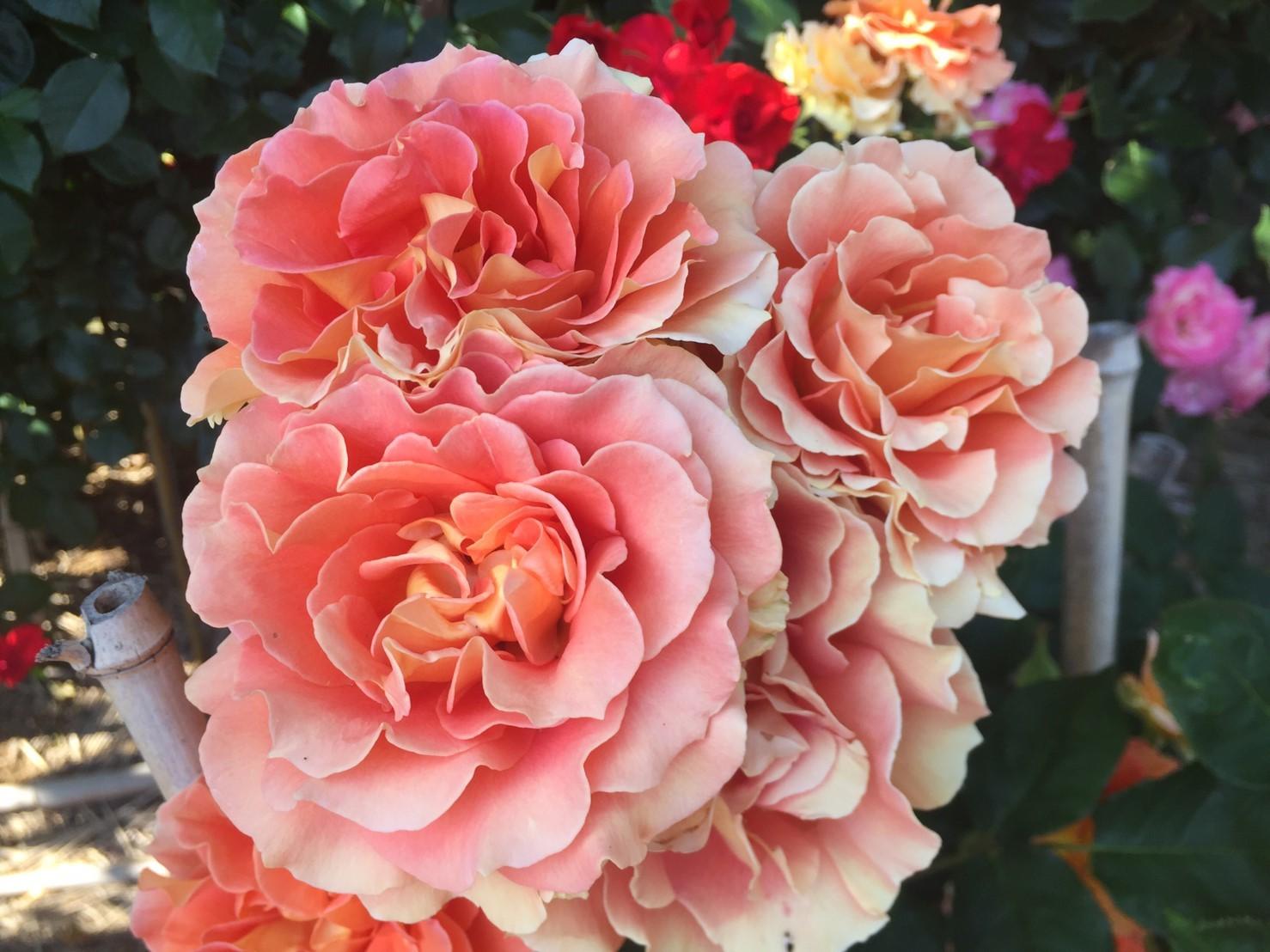 Rose Garden Fujii_e0115904_12545411.jpg