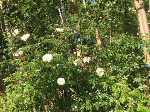 Rose Garden Fujii_e0115904_13042540.jpg