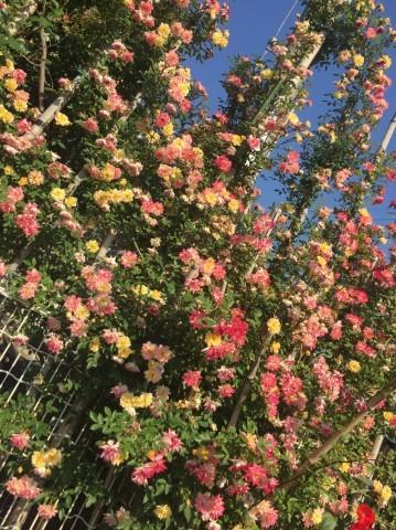 Rose Garden Fujii_e0115904_13071932.jpg