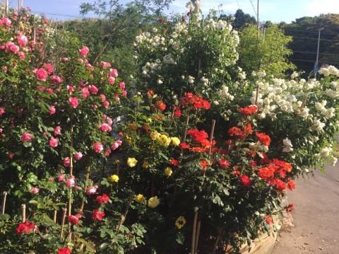 Rose Garden Fujii_e0115904_13071986.jpg