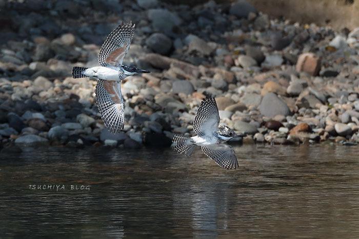 ヤマセミ 2羽で飛ぶ_d0053309_19251325.jpg