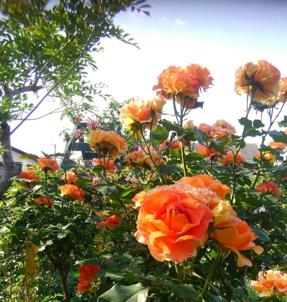 バラの庭_f0129627_15130892.jpg