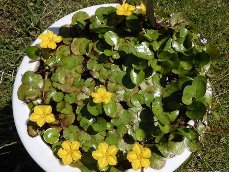 五月の晦日(みそか)、快晴。水に浮く植物。_a0123836_17252545.jpg
