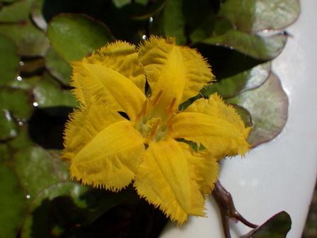 五月の晦日(みそか)、快晴。水に浮く植物。_a0123836_17261104.jpg