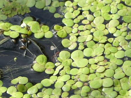 五月の晦日(みそか)、快晴。水に浮く植物。_a0123836_17275916.jpg