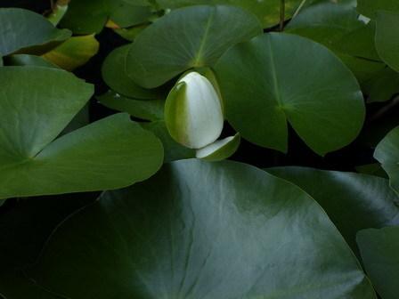 五月の晦日(みそか)、快晴。水に浮く植物。_a0123836_17281337.jpg