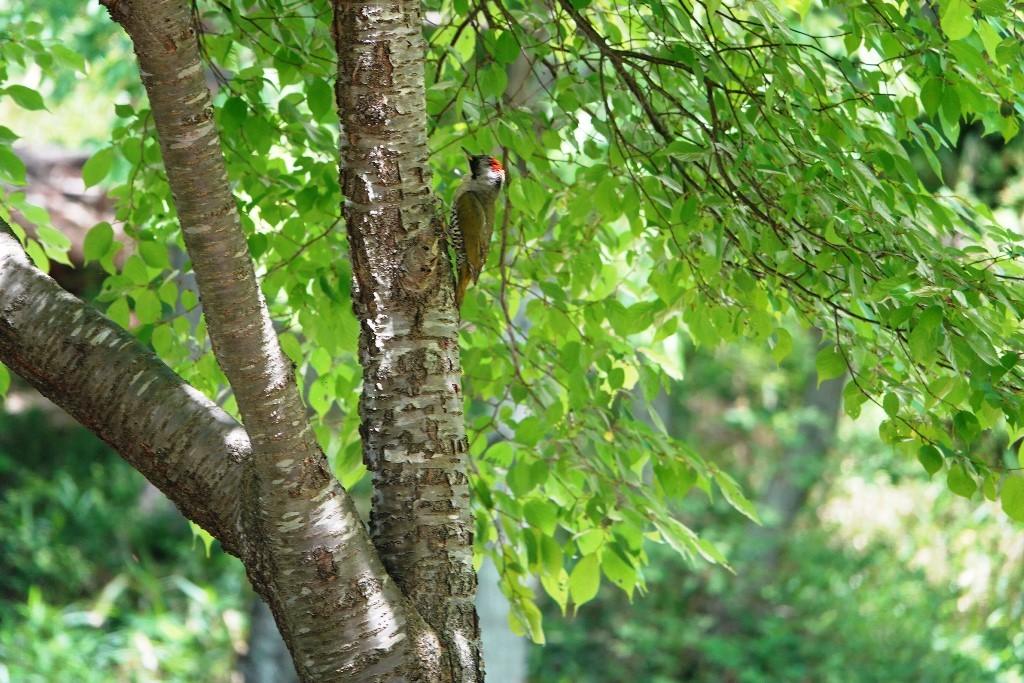 野鳥トレ164 アオゲラ、オオルリ、サンコチョウ等_b0227552_19521365.jpg