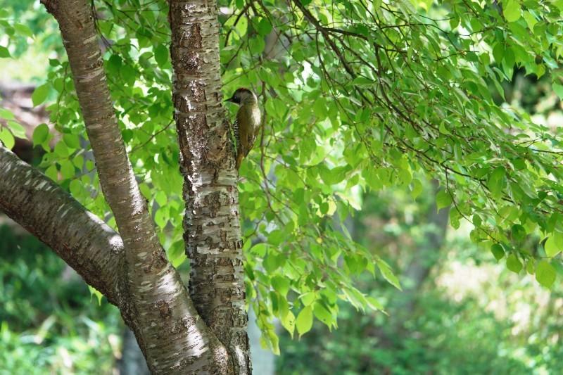 野鳥トレ164 アオゲラ、オオルリ、サンコチョウ等_b0227552_19522540.jpg