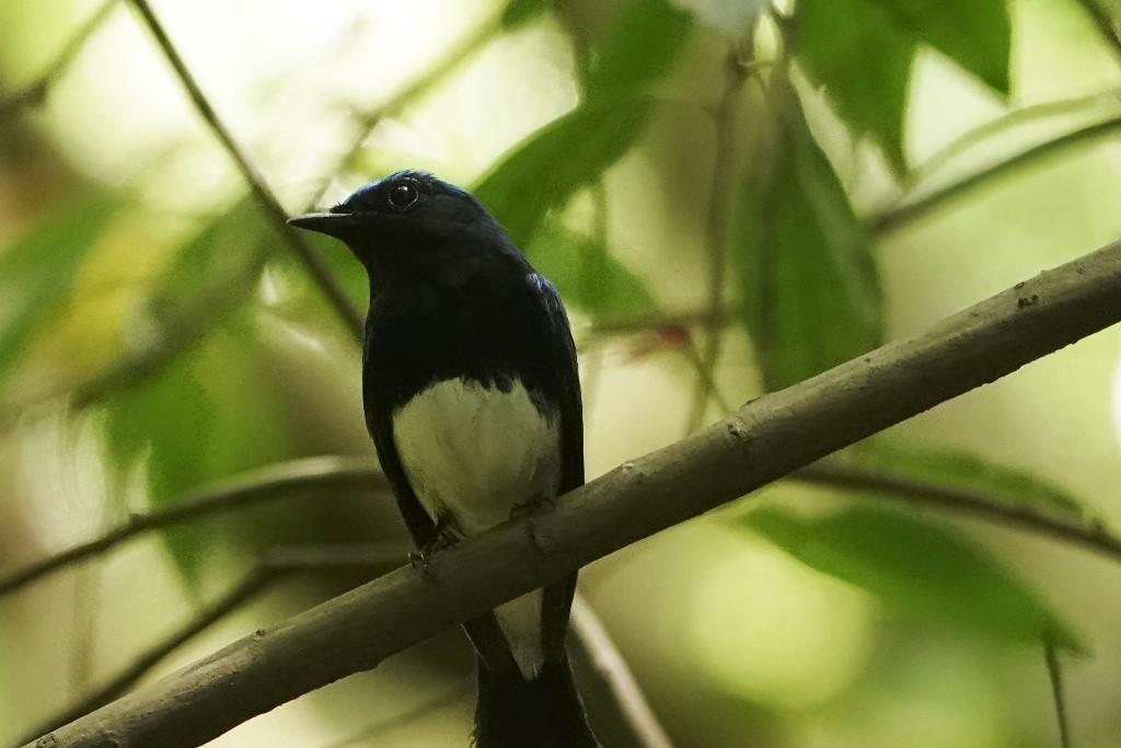 野鳥トレ164 アオゲラ、オオルリ、サンコチョウ等_b0227552_19524932.jpg