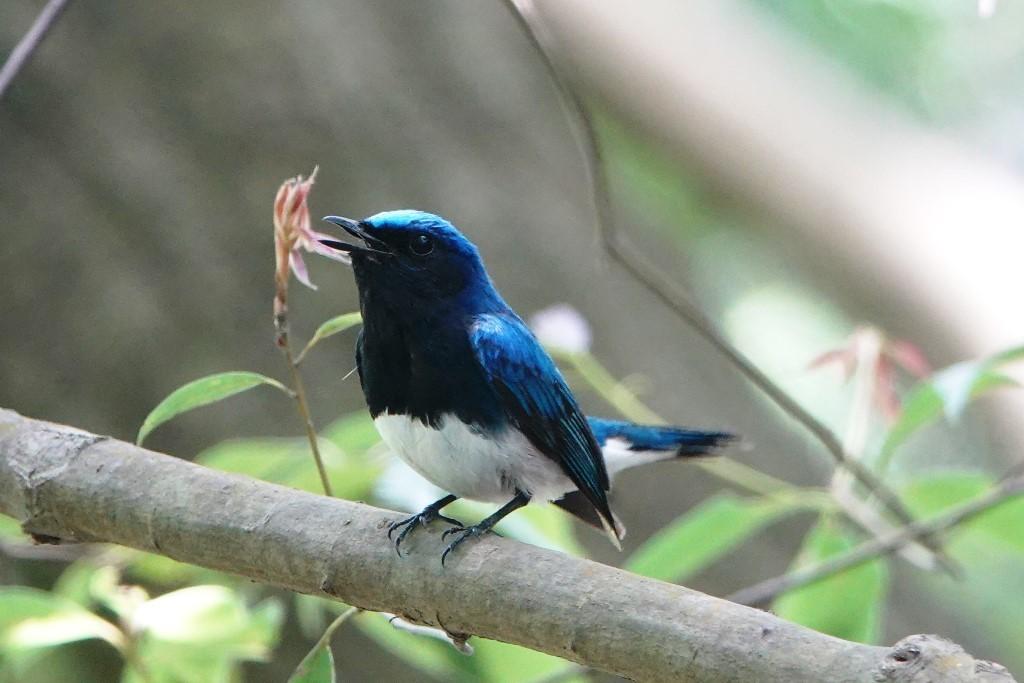 野鳥トレ164 アオゲラ、オオルリ、サンコチョウ等_b0227552_19530580.jpg