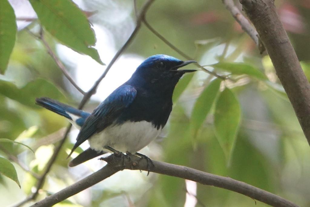 野鳥トレ164 アオゲラ、オオルリ、サンコチョウ等_b0227552_19532885.jpg