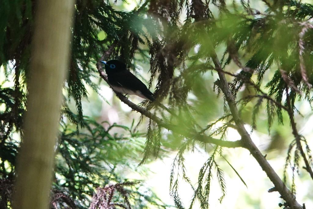 野鳥トレ164 アオゲラ、オオルリ、サンコチョウ等_b0227552_19534242.jpg