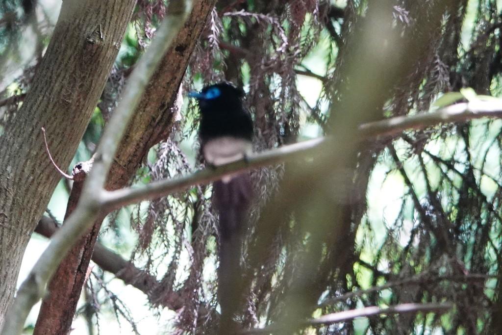 野鳥トレ164 アオゲラ、オオルリ、サンコチョウ等_b0227552_19535058.jpg