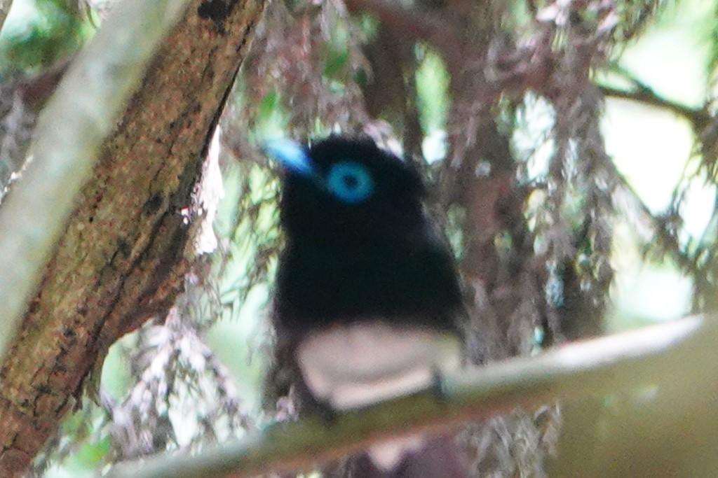 野鳥トレ164 アオゲラ、オオルリ、サンコチョウ等_b0227552_19540464.jpg