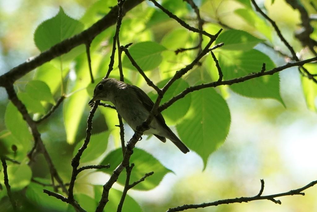 野鳥トレ164 アオゲラ、オオルリ、サンコチョウ等_b0227552_20020115.jpg