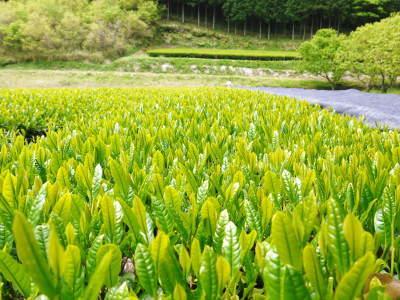 菊池水源茶 茶摘みの様子(2019)!濃い色に育て上げ、茶摘!今年も生茶の香りが最高なんです!!_a0254656_17364202.jpg