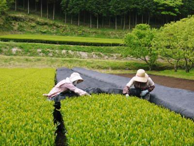 菊池水源茶 茶摘みの様子(2019)!濃い色に育て上げ、茶摘!今年も生茶の香りが最高なんです!!_a0254656_17374771.jpg