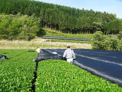 菊池水源茶 茶摘みの様子(2019)!濃い色に育て上げ、茶摘!今年も生茶の香りが最高なんです!!_a0254656_17423741.jpg