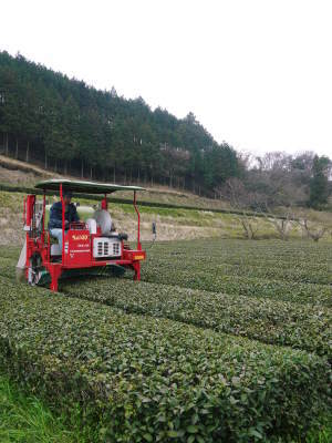 菊池水源茶 茶摘みの様子(2019)!濃い色に育て上げ、茶摘!今年も生茶の香りが最高なんです!!_a0254656_17502482.jpg