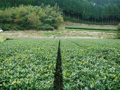 菊池水源茶 茶摘みの様子(2019)!濃い色に育て上げ、茶摘!今年も生茶の香りが最高なんです!!_a0254656_17520362.jpg