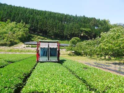 菊池水源茶 茶摘みの様子(2019)!濃い色に育て上げ、茶摘!今年も生茶の香りが最高なんです!!_a0254656_17540907.jpg