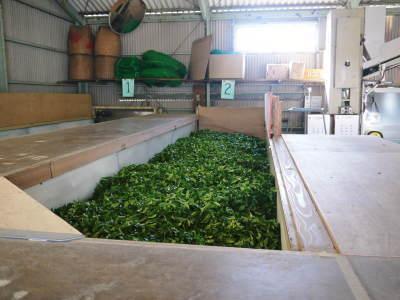 菊池水源茶 茶摘みの様子(2019)!濃い色に育て上げ、茶摘!今年も生茶の香りが最高なんです!!_a0254656_18073098.jpg