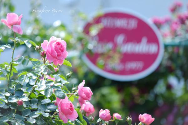 薔薇 **_d0344864_19461111.jpg