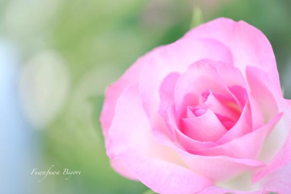 薔薇 **_d0344864_19461677.jpg