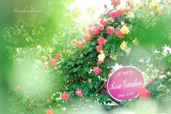 薔薇 **_d0344864_19462617.jpg