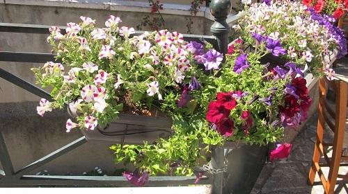 サフィニアが美しい夏_f0037264_22471793.jpg