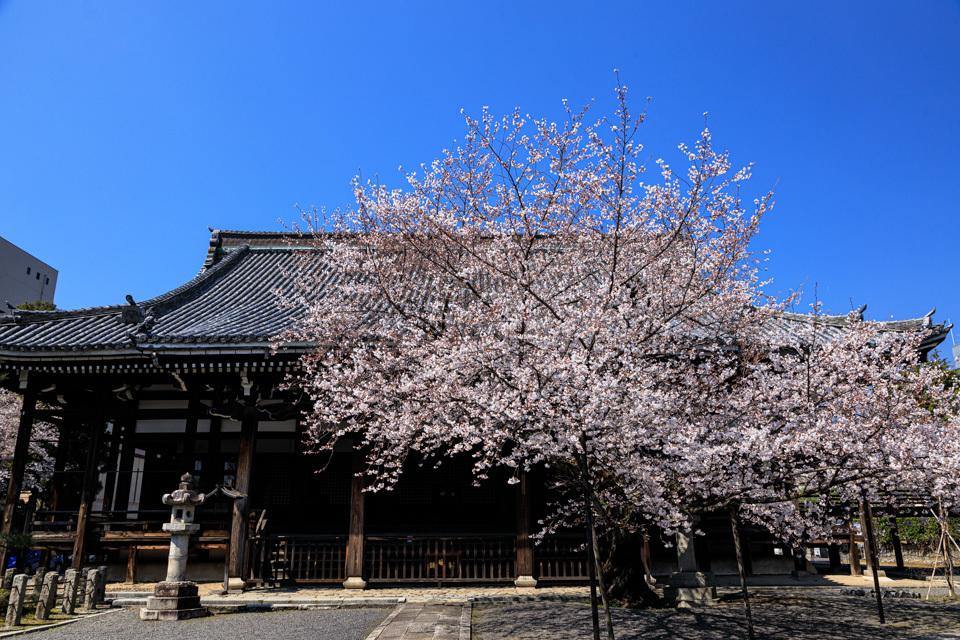 桜 2019!  ~本法寺~_b0128581_19575579.jpg