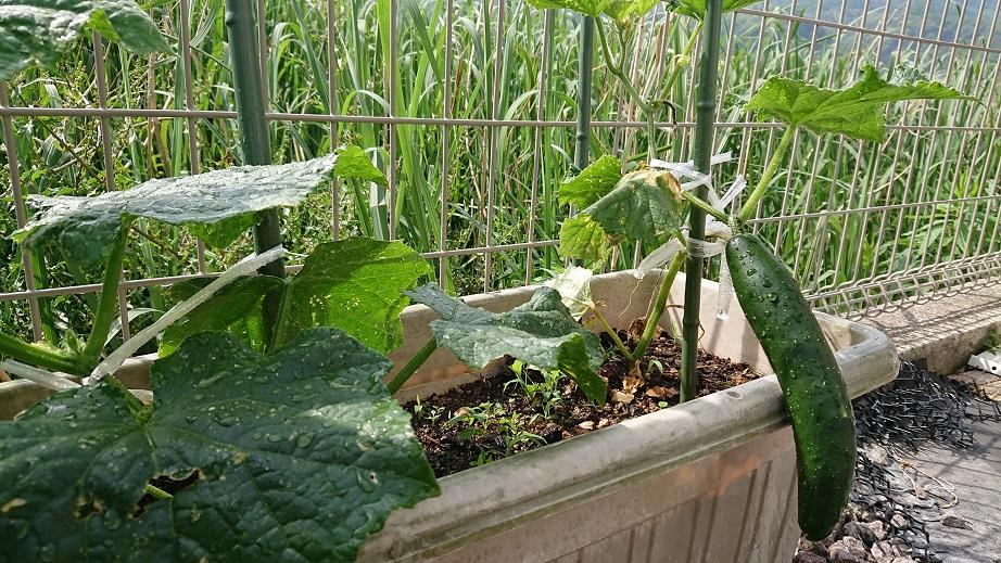 家庭菜園_f0172281_6384166.jpg
