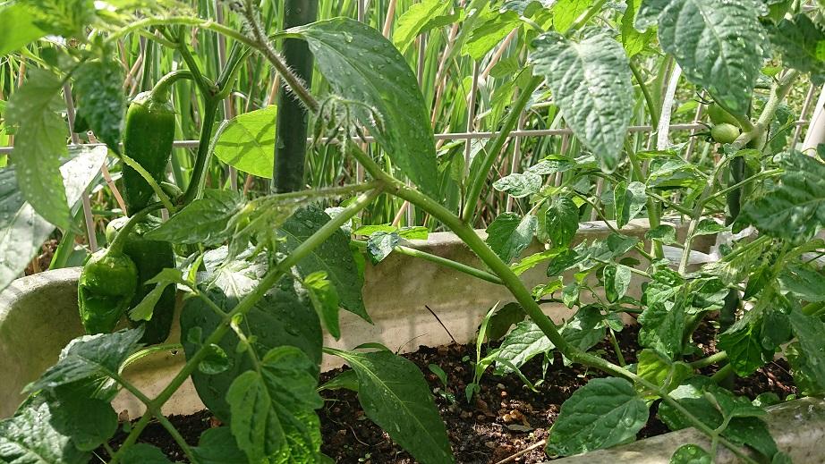 家庭菜園_f0172281_638599.jpg