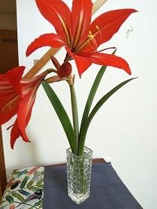 庭の隅っこでアマリリスが咲いてた_d0043390_22550207.jpg