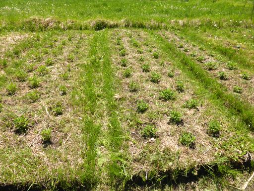 5月下旬の自然農畑_d0366590_19391369.jpg