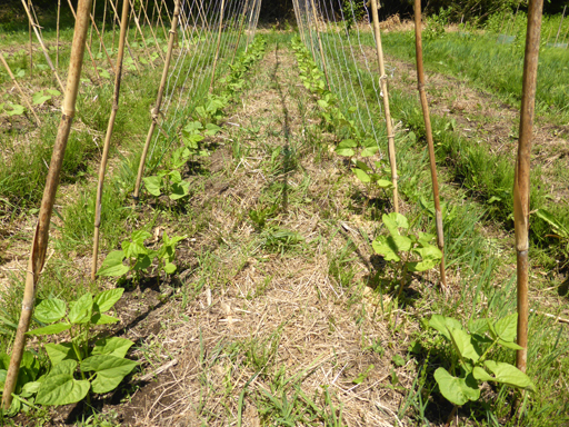 5月下旬の自然農畑_d0366590_19452895.jpg
